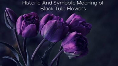 Photo of Symbolic Meaning of Black Tulip Flower